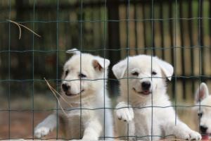 White-Swiss-Shepherd-Puppies-06062019-0068