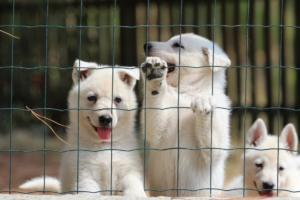 White-Swiss-Shepherd-Puppies-06062019-0069