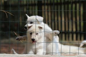 White-Swiss-Shepherd-Puppies-06062019-0070