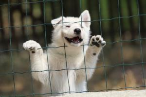 White-Swiss-Shepherd-Puppies-06062019-0072