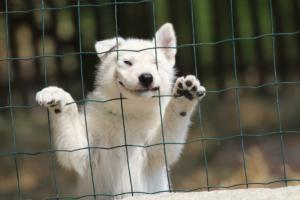 White-Swiss-Shepherd-Puppies-06062019-0073