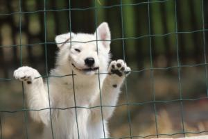 White-Swiss-Shepherd-Puppies-06062019-0074