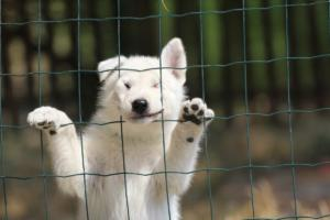 White-Swiss-Shepherd-Puppies-06062019-0075