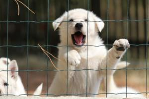 White-Swiss-Shepherd-Puppies-06062019-0077