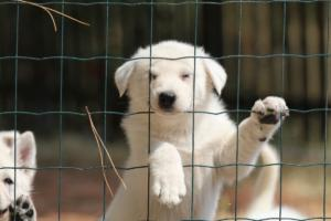 White-Swiss-Shepherd-Puppies-06062019-0078