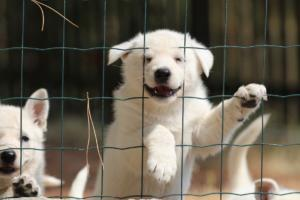 White-Swiss-Shepherd-Puppies-06062019-0079