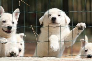 White-Swiss-Shepherd-Puppies-06062019-0080
