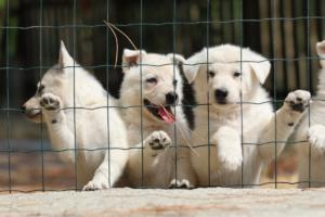 White-Swiss-Shepherd-Puppies-06062019-0081