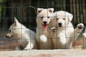 White-Swiss-Shepherd-Puppies-06062019-0083
