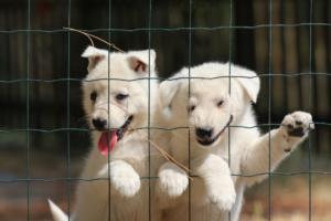 White-Swiss-Shepherd-Puppies-06062019-0085