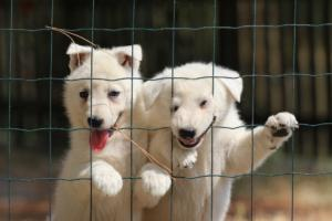 White-Swiss-Shepherd-Puppies-06062019-0086