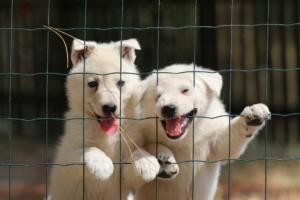White-Swiss-Shepherd-Puppies-06062019-0087