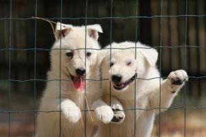 White-Swiss-Shepherd-Puppies-06062019-0088