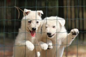 White-Swiss-Shepherd-Puppies-06062019-0089
