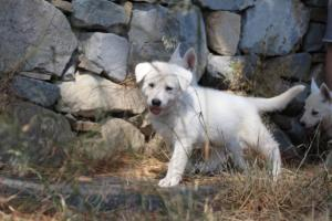 White-Swiss-Shepherd-Puppies-BTWW-Ninjas-0001