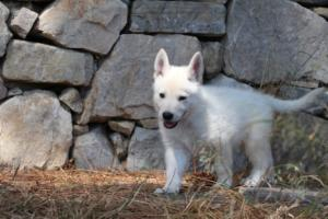 White-Swiss-Shepherd-Puppies-BTWW-Ninjas-0002