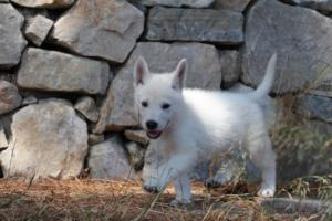 White-Swiss-Shepherd-Puppies-BTWW-Ninjas-0003