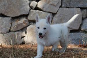 White-Swiss-Shepherd-Puppies-BTWW-Ninjas-0004
