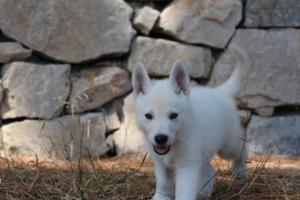 White-Swiss-Shepherd-Puppies-BTWW-Ninjas-0005