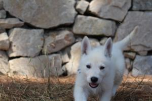 White-Swiss-Shepherd-Puppies-BTWW-Ninjas-0006