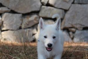 White-Swiss-Shepherd-Puppies-BTWW-Ninjas-0007