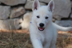 White-Swiss-Shepherd-Puppies-BTWW-Ninjas-0008