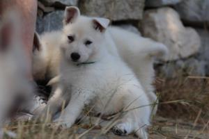 White-Swiss-Shepherd-Puppies-BTWW-Ninjas-0009