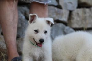 White-Swiss-Shepherd-Puppies-BTWW-Ninjas-0014