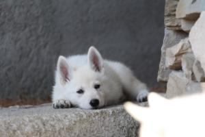 White-Swiss-Shepherd-Puppies-BTWW-Ninjas-0015