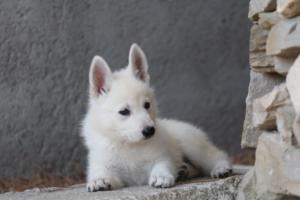 White-Swiss-Shepherd-Puppies-BTWW-Ninjas-0016