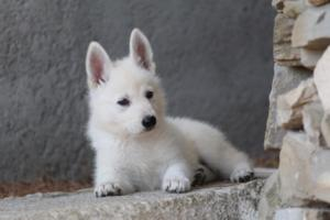 White-Swiss-Shepherd-Puppies-BTWW-Ninjas-0017
