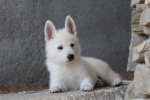 White-Swiss-Shepherd-Puppies-BTWW-Ninjas-0018