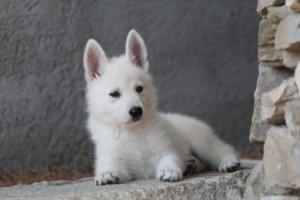 White-Swiss-Shepherd-Puppies-BTWW-Ninjas-0019