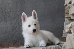 White-Swiss-Shepherd-Puppies-BTWW-Ninjas-0020