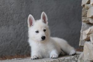 White-Swiss-Shepherd-Puppies-BTWW-Ninjas-0021