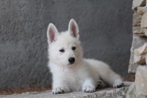 White-Swiss-Shepherd-Puppies-BTWW-Ninjas-0022