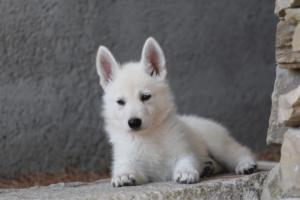White-Swiss-Shepherd-Puppies-BTWW-Ninjas-0023