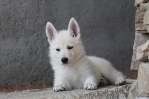 White-Swiss-Shepherd-Puppies-BTWW-Ninjas-0024