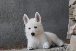 White-Swiss-Shepherd-Puppies-BTWW-Ninjas-0025