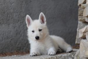 White-Swiss-Shepherd-Puppies-BTWW-Ninjas-0026