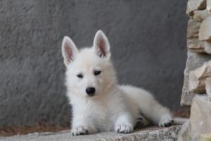 White-Swiss-Shepherd-Puppies-BTWW-Ninjas-0027