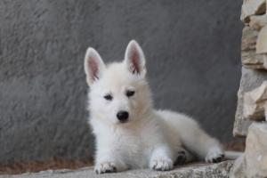 White-Swiss-Shepherd-Puppies-BTWW-Ninjas-0028