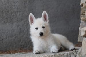White-Swiss-Shepherd-Puppies-BTWW-Ninjas-0032