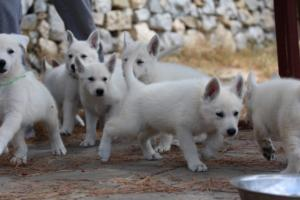 White-Swiss-Shepherd-Puppies-BTWW-Ninjas-150719-0001
