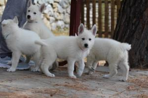 White-Swiss-Shepherd-Puppies-BTWW-Ninjas-150719-0003
