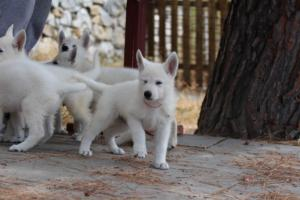 White-Swiss-Shepherd-Puppies-BTWW-Ninjas-150719-0004