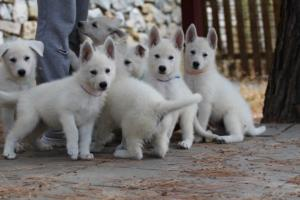White-Swiss-Shepherd-Puppies-BTWW-Ninjas-150719-0005