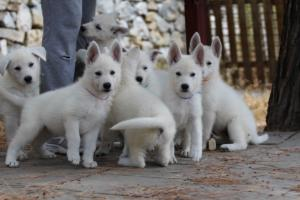 White-Swiss-Shepherd-Puppies-BTWW-Ninjas-150719-0006