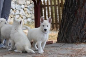 White-Swiss-Shepherd-Puppies-BTWW-Ninjas-150719-0007
