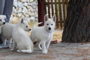 White-Swiss-Shepherd-Puppies-BTWW-Ninjas-150719-0008